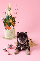 Shiba Puppy and Japanese New Year Celebration