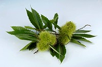Sweet chestnuts in their prickly cases with leaves