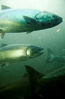 Underwater view of Salmon swimming