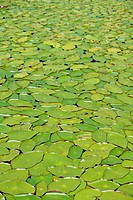 Massive water lily type aquatic plants Lake of the Woods Oregon