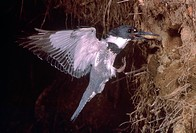 Belted Kingfisher Megaceryle alcyon with fish at nest in a embankment