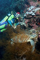 Green turtle _ Chelonia mydas_ Pacific ocean, Sipadan, Malaysia