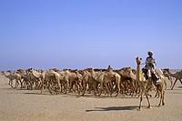 Africa, Sudan, Nubia, camel herd