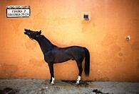 A horse stands in a stable in Mexico City. Male rodeo competitors are 'Charros, ' from which comes the word 'Charreria ' Charreria is Mexico's nationa...