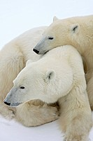 A Polar Bear sow and her cub snuggle together on the ice in Churchill, Manitoba, Canada, Winter