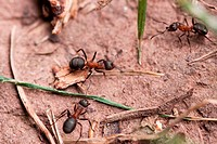Red European Forest Ants Formica rufa
