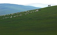 Mongolian man hearding a flock of grazing sheep, Hulun Buir Grassland, Manzhouli, Hulunbuir, Inner Mongolia, China