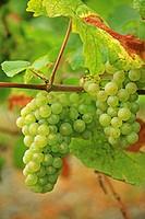 Germany, Rheinland-Pfalz, Bernkastel-Kues, white wine grapes
