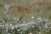 Calandra Lark Melanocorypha calandra adult, standing on rock, Bulgaria, may