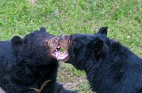 Asiatic Black Bear Ursus thibetanus two adults, play_fighting, close_up of heads, Animals Asia Rescue Centre, Chengdu, Sichuan, China, april