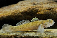 Common Goby Padogobius bonelli adult, resting on rock, Italy