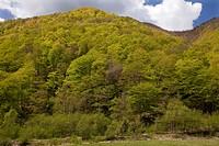 Oriental Beech Fagus orientalis mixed montane woodland habitat, Gudani Valley, Great Caucasus, Georgia, spring