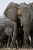African elephant, Loxodonta africana, Afrikanischer Elefant