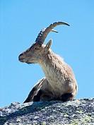 Goat. Acepromazine. Sierra de Gredos. Avila. Castilla y León. Spain. Europe.