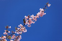 Japanese white_eye perched on blossoming cherry tree branch, Tokyo Prefecture, Honshu, Japan