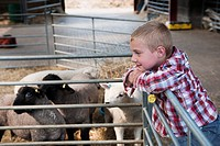 Boy watching sheep in farm barn
