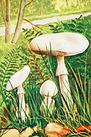 Dead cap  Amanita phalloides var  verna  Lethal fungi  Antique illustration  1900