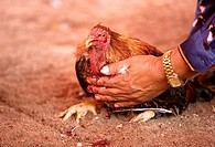 A rooster owner steadies his bloody bird at a cockfight the outskirts of Mexico City. Cockfighting originated in India, China, Persia, and other Easte...