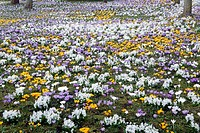 Crocuses and Hyacinths flowering in town park, Germany