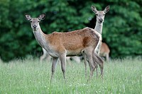 Red Deer Cervus elaphus, two hinds on alert, Germany