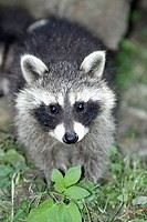 Raccoon Procyon lotor, baby animal feeding on ground, Germany