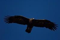 adult golden eagle Aquia chrysaetos , Alaska