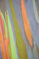 A close view of the bark of a Rainbow Eucalyptus tree.