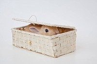 A rabbit is in a basket.Netherland Dwarf.