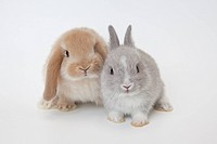 Two rabbits.Netherland Dwarf and Holland Lop.