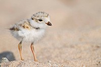Piping Plover Chick Charadrius melodus