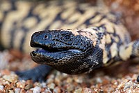 Gila monster  Heloderma suspectum . Sonoran desert, Arizona. Defensive reaction. One of two venomous lizards in the world, vemon glands in lower jaw d...