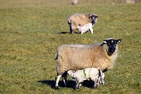 Ewe and lambs in spring