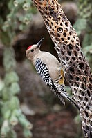 Gila Woodpecker Melanerpes uropygialis - Arizona -On dead cholla cactus - feeds on nectar and insects in the Saguaro cactus blossom - helps pollinate ...