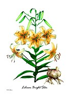Illustration of Lily Lilium ´Bright Star´ in flower.