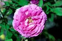 Rose Rosa ´Marechal Devoust´ in flower.