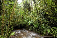 Amazon rainforest. Stream running through a tropical rainforest 2000 metres up on the slopes of the Andes near Cosanga, Ecuador.
