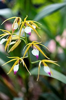 Orchid Encyclia brassavolae in flower.