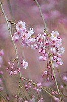 Weeping Cherry Prunus subhirtella ´Pendula´ in flower.
