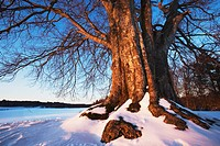 Red beech in snow, near Starnbergersee, Germany