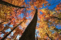 Maples in fall colors, Algonquin Provincial Park, Ontario, Canada