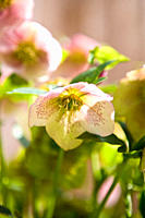 Hellebore or Lenten rose flowers
