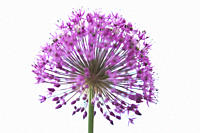 A purple allium flower head