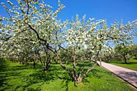 Apple trees in bloom  Kolomenskoe estate, Moscow, Russia