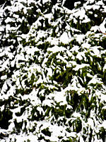 Evergreen Tree Covered in Snow