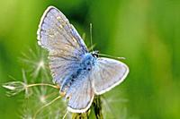 Common Blue, polyommatus icarus on dandelion tufft Weed-whacker damage  Outspread wings of the Common Blue shows distinct wing damage caused by indust...