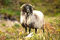 Mutton goat in Erro Valley, Navarre, Spain, Europe