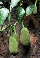 Jackfruit Artocarpus heterophyllus or A. Heterophylla is a species of tree in the mulberry family Moraceae, native to parts of southern and southeast ...