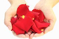 Petals of rose Rosa sp