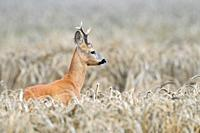 Roe buck (Capreolus capreolus) in grain field, Summer, Germany, Europe
