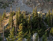 Panoramic image of evergreen trees at treeline, Rocky Mountain National Park, Colorado